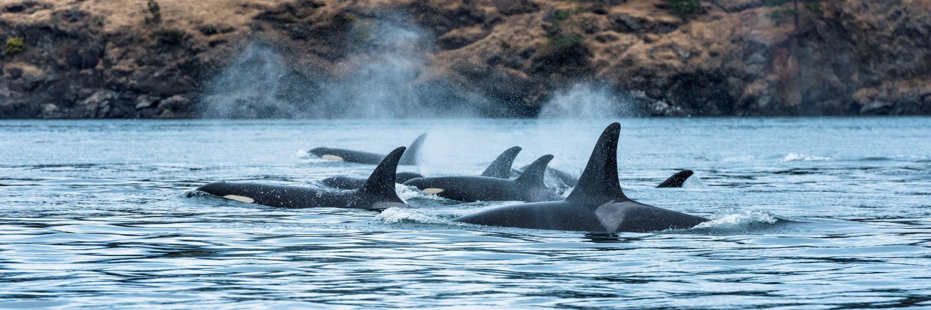 A pod of Orcas on the coastline