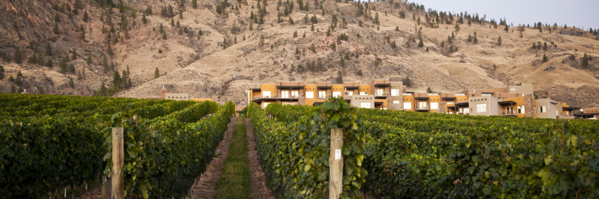A vineyard in Thompson Okanagan, British Columbia